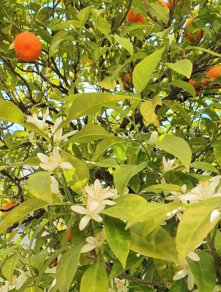 orange blossom flora of greece travel guide
